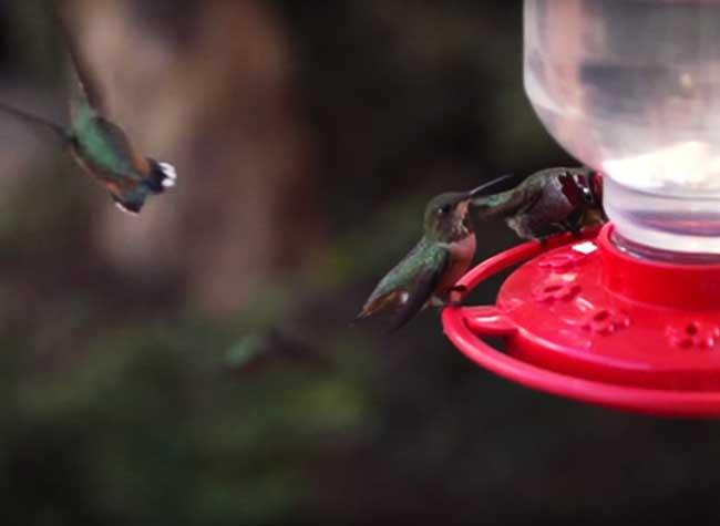 colibris melanie barboni, 200 Colibris n'Hésitent pas à Réclamer Lorsqu'elle est en Retard pour les Nourrir (video)