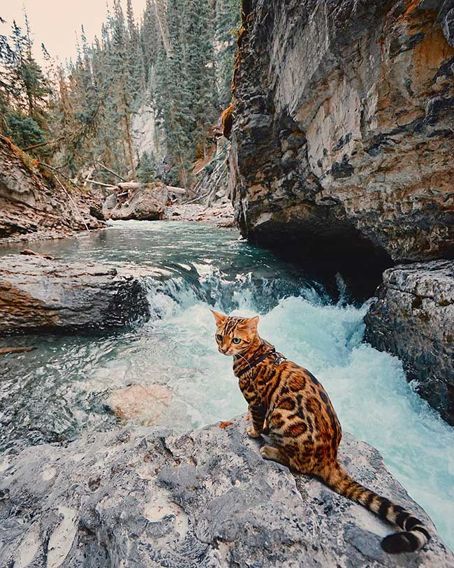 Suki Cat Sukiicat Ef Bf Bd Photos Et Vid Ef Bf Bdos Instagram Suki Le Chat Bengal Qui Va Vous Donner Envie De Voyager Maxitendance