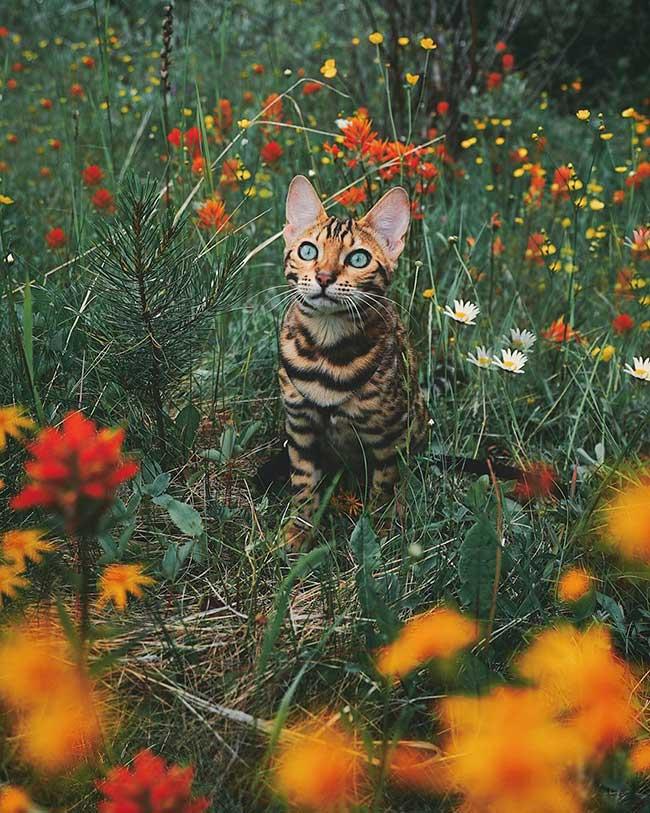 suki chat bengale aventurier, Suki le Chat Bengal qui va vous Donner Envie de Voyager