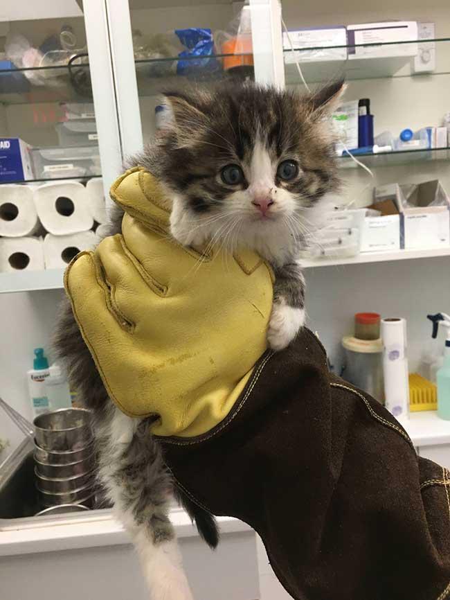 chaton sauve nugget chat adoption, Trouvé dans un Buisson ce Chaton se Met en Scène en Attendant son Adoption