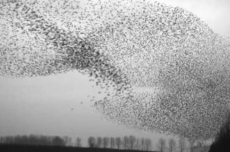 murmuration jan van ijken millier oiseaux essaims
