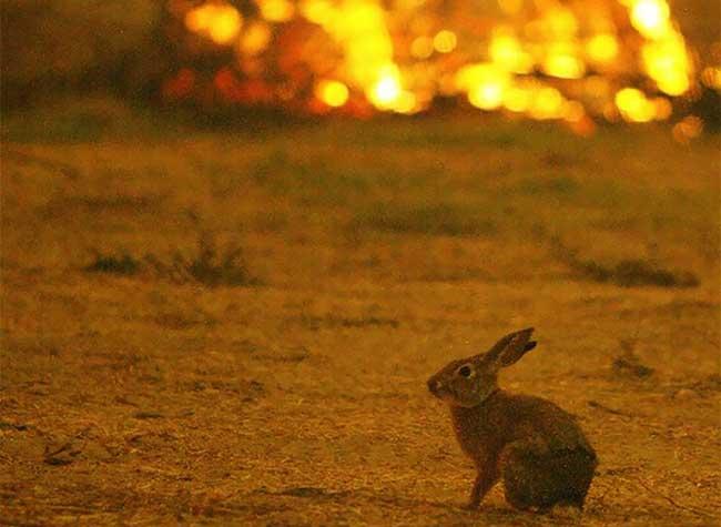 californie feu thomas homme sauve lapin 3 - En Californie Il Sauve un Lapin des Flammes puis Disparaît dans la Nuit (Vidéo)