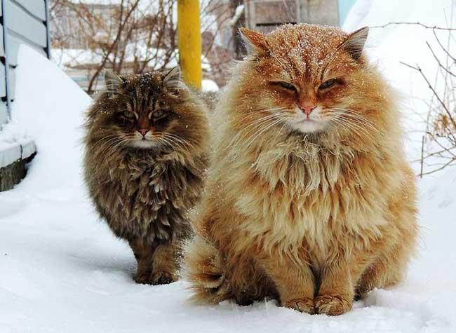 portraits chats siberiens alla lebedeva 1 - Portraits de Chats Sibériens sous la Neige dans une Ferme en Russie