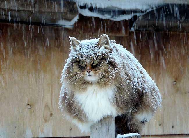 portraits chats siberiens alla lebedeva 10 - Portraits de Chats Sibériens sous la Neige dans une Ferme en Russie