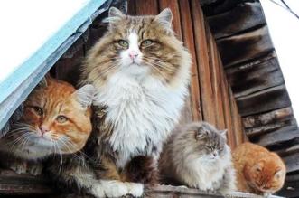 portraits chats sibériens alla lebedeva