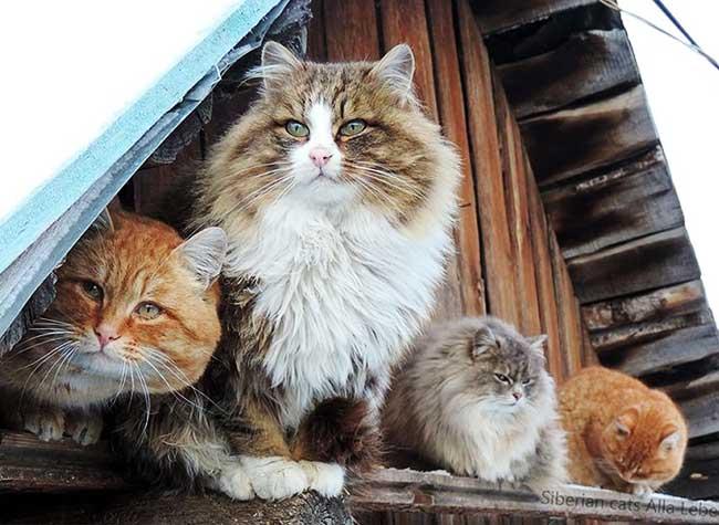 portraits chats siberiens alla lebedeva 11 - Portraits de Chats Sibériens sous la Neige dans une Ferme en Russie