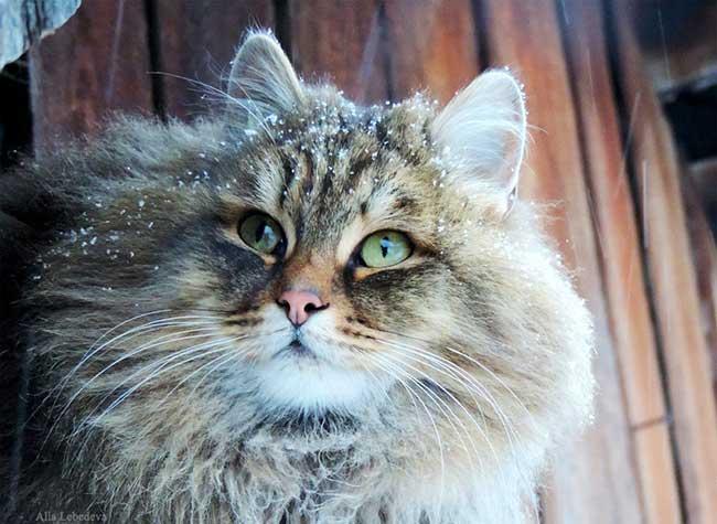 portraits chats siberiens alla lebedeva 12 - Portraits de Chats Sibériens sous la Neige dans une Ferme en Russie