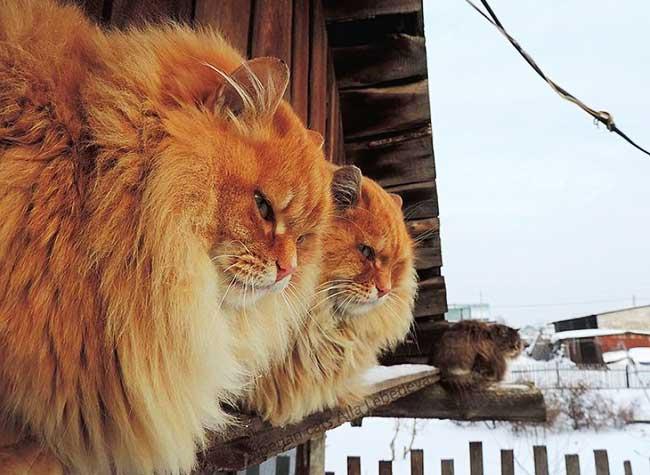 portraits chats siberiens alla lebedeva 2 - Portraits de Chats Sibériens sous la Neige dans une Ferme en Russie