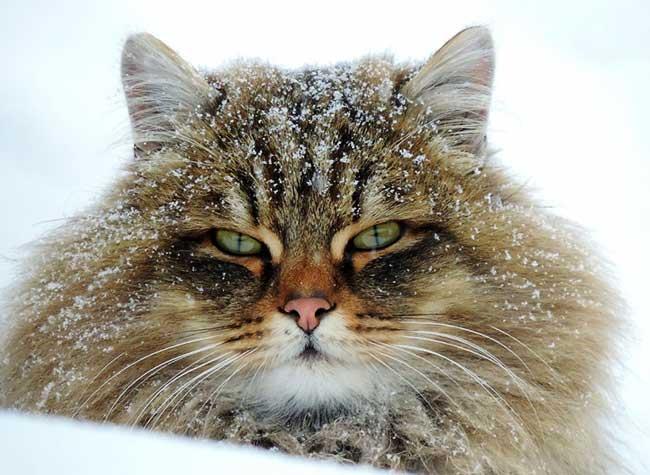 portraits chats siberiens alla lebedeva 3 - Portraits de Chats Sibériens sous la Neige dans une Ferme en Russie