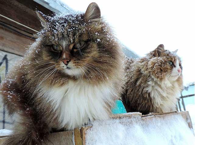 portraits chats siberiens alla lebedeva 4 - Portraits de Chats Sibériens sous la Neige dans une Ferme en Russie