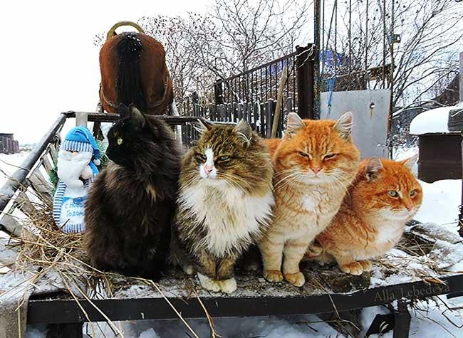 portraits chats siberiens alla lebedeva 5 - Portraits de Chats Sibériens sous la Neige dans une Ferme en Russie