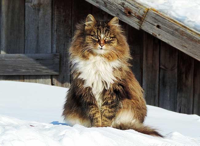 portraits chats siberiens alla lebedeva 6 - Portraits de Chats Sibériens sous la Neige dans une Ferme en Russie