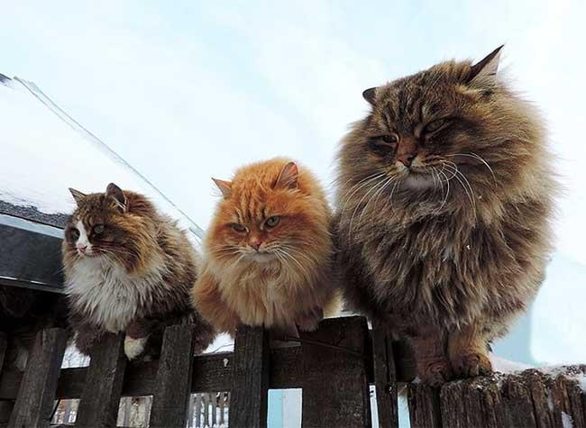 portraits chats siberiens alla lebedeva 7 - Portraits de Chats Sibériens sous la Neige dans une Ferme en Russie