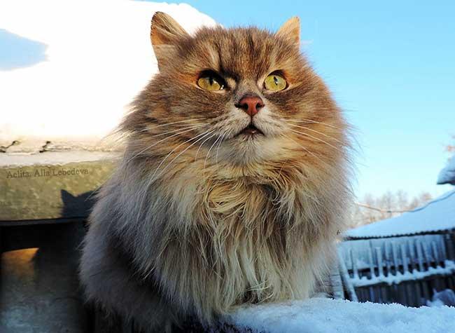 portraits chats siberiens alla lebedeva 8 - Portraits de Chats Sibériens sous la Neige dans une Ferme en Russie