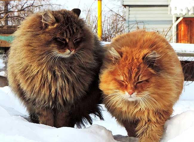 portraits chats siberiens alla lebedeva 9 - Portraits de Chats Sibériens sous la Neige dans une Ferme en Russie