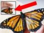 papillon monarque transplantation greffe aile