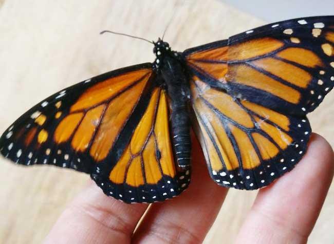 Aile De Papillon elle greffe une aile à ce papillon monarque qui reprend son envol