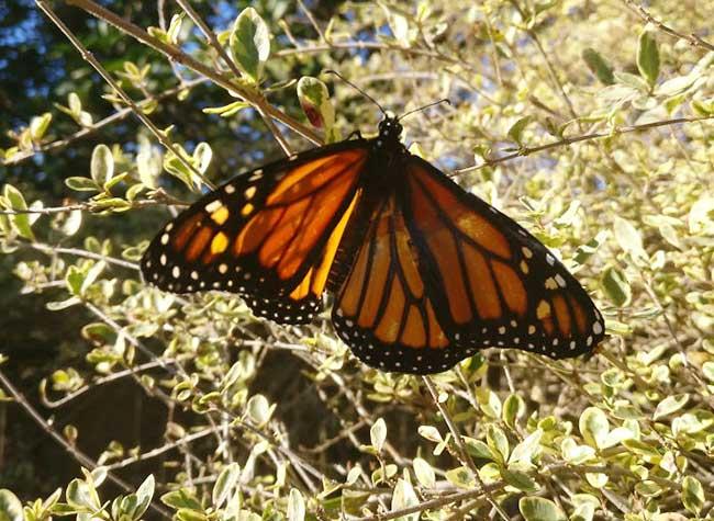 papillon monarque greffe aile, Elle Greffe une Aile à ce Papillon Monarque qui Reprend son Envol (video)
