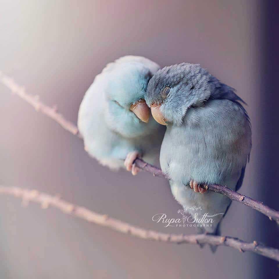 portraits petits perroquets rupa sutton, Portraits de Petits Perroquets au Plumage Pastel Tendrement Enlacés