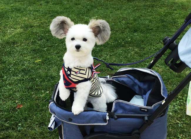 goma petit chien oreilles mickey, Goma, le Chien aux Oreilles de Mickey qui Fait Craquer Internet