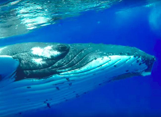 baleine bosse sauvetage plongeuse nan hauser 2 - Cette Baleine Sauve une Plongeuse d'une Attaque de Requin Tigre