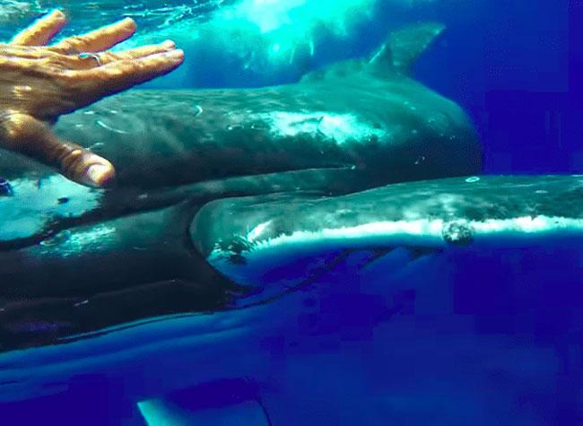 baleine bosse sauvetage plongeuse nan hauser 3 - Cette Baleine Sauve une Plongeuse d'une Attaque de Requin Tigre