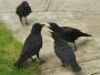 portraits corbeau oiseau intelligent