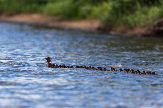 maman-canard-76-canetons-brent cisek, Maman Canard et ses 76 Canetons dans un Lac du Minnesota (video)