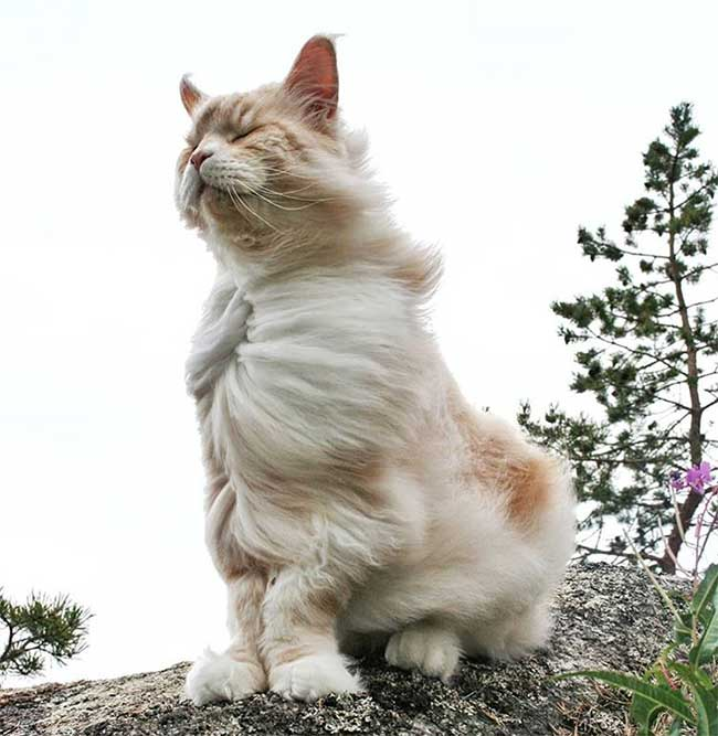 lotus chat maine coon, Lotus, le Chat Maine Coon Adorable et Impressionnant