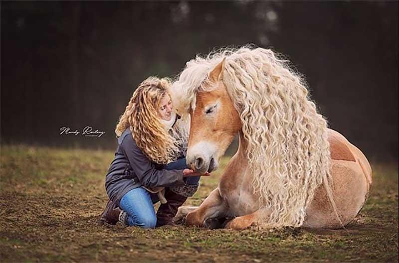 rapunzel haflinger cheval criniere frisee ondulee 1 - Le Rapunzel du Cheval a une Magnifique Crinière Blonde Ondulée