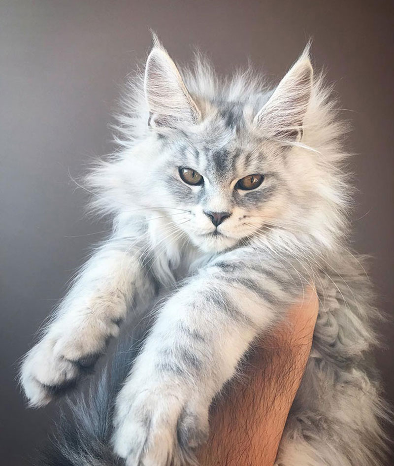 portraits chaton maine coon chat photo 1 - Portraits de Chatons Maine Coon... ces Adorables Géants