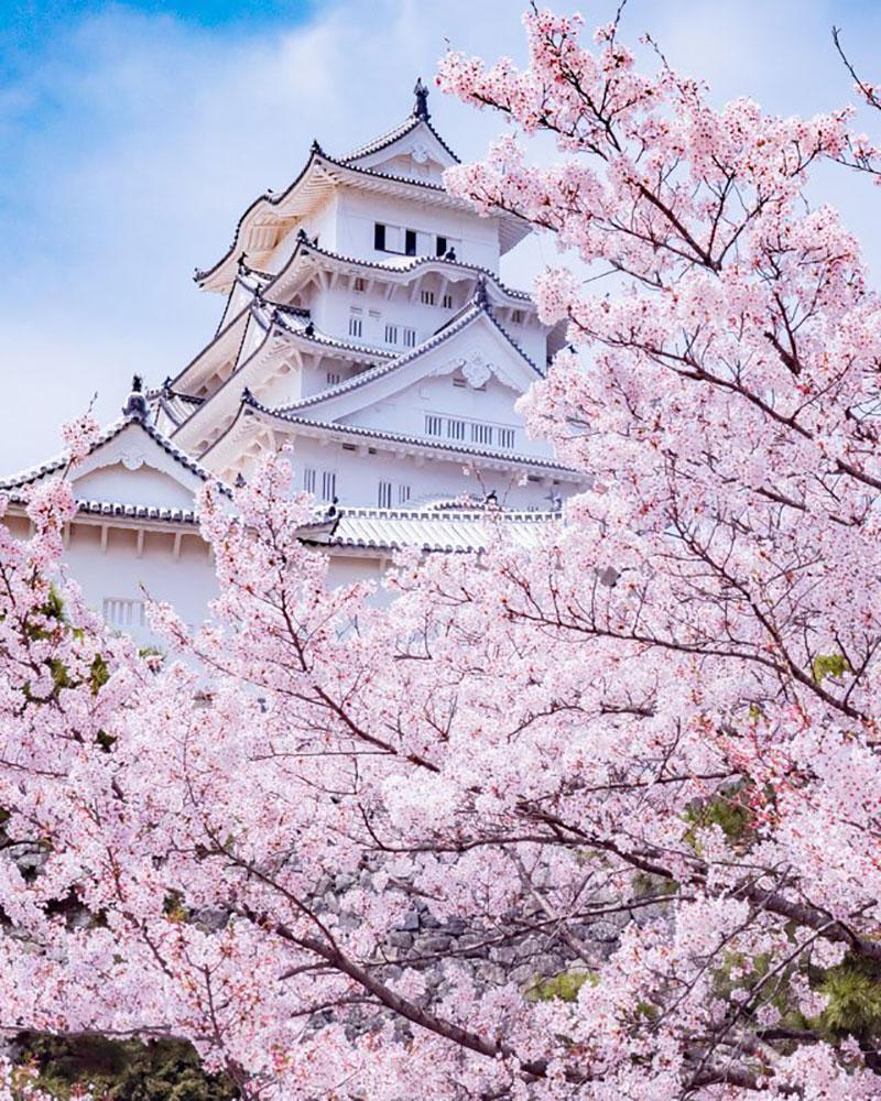 rose cerisiers fleurs bleu nemophiles printemps japon 1 - Cerisiers en Fleurs et Nemophiles pour un Printemps Eclatant