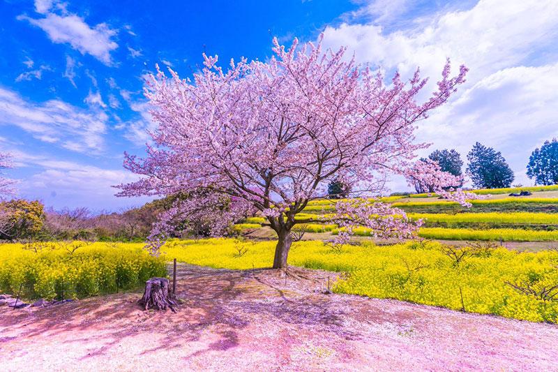 rose cerisiers fleurs bleu nemophiles printemps japon 3 - Cerisiers en Fleurs et Nemophiles pour un Printemps Eclatant
