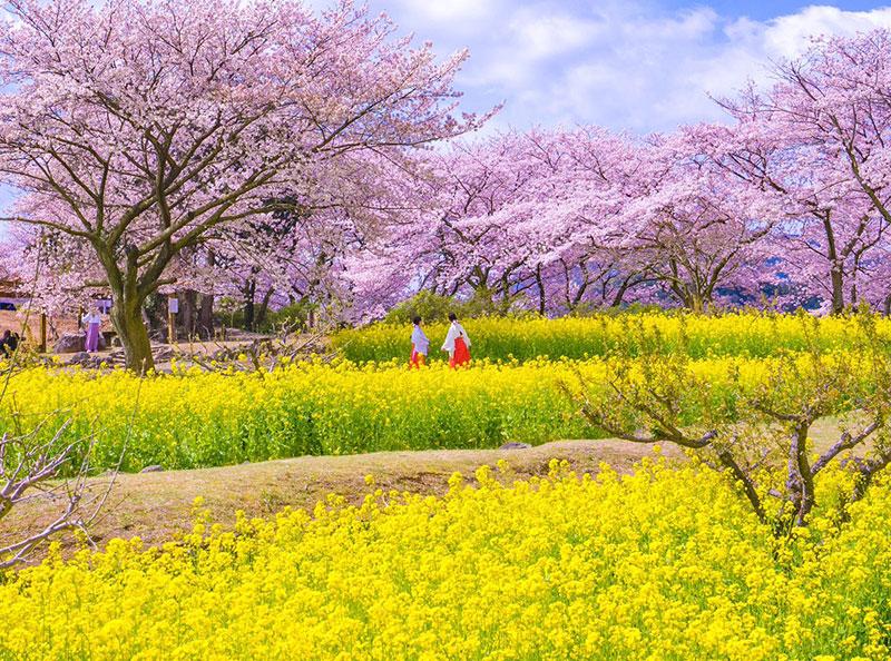 rose cerisiers fleurs bleu nemophiles printemps japon 4 - Cerisiers en Fleurs et Nemophiles pour un Printemps Eclatant