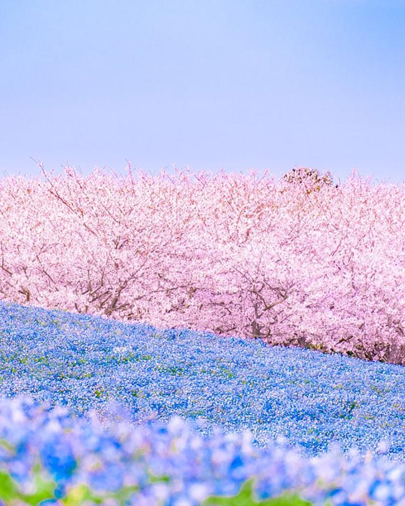 rose cerisiers fleurs bleu nemophiles printemps japon 6 - Cerisiers en Fleurs et Nemophiles pour un Printemps Eclatant