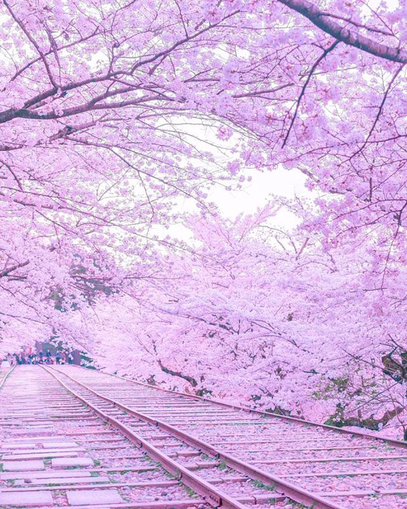 rose cerisiers fleurs bleu nemophiles printemps japon 7 - Cerisiers en Fleurs et Nemophiles pour un Printemps Eclatant