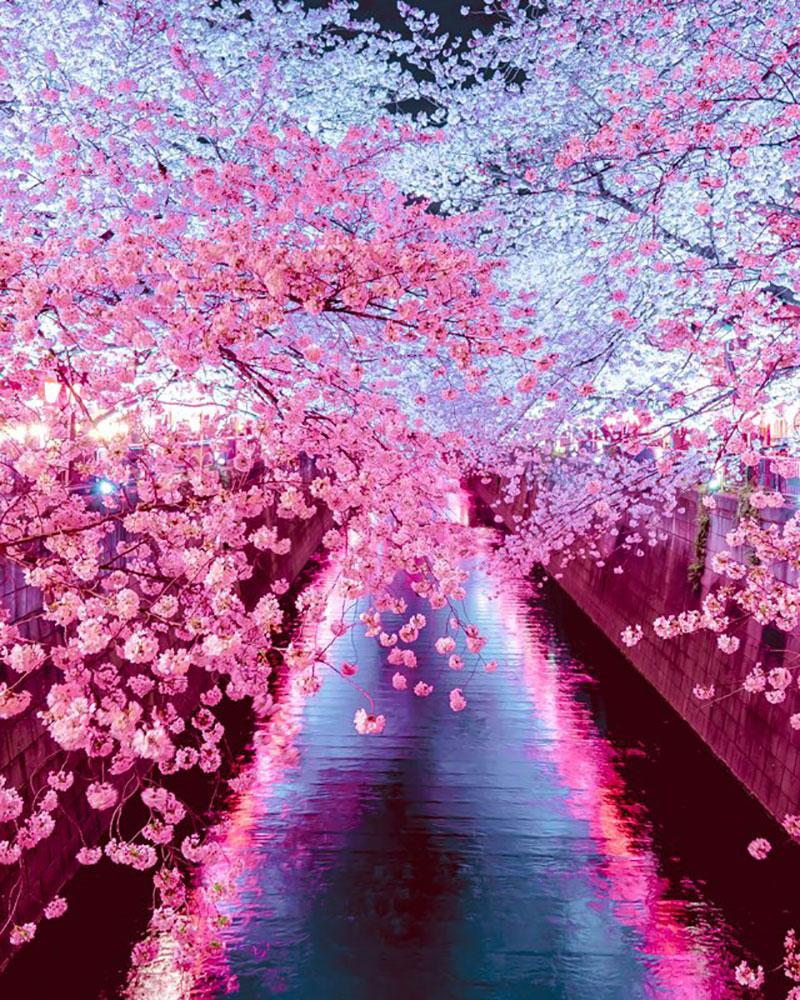 rose cerisiers fleurs bleu nemophiles printemps japon 8 - Cerisiers en Fleurs et Nemophiles pour un Printemps Eclatant