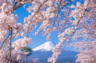 rose cerisiers fleurs bleu nemophiles printemps japon 9 331x219 - Cerisiers en Fleurs et Nemophiles pour un Printemps Eclatant