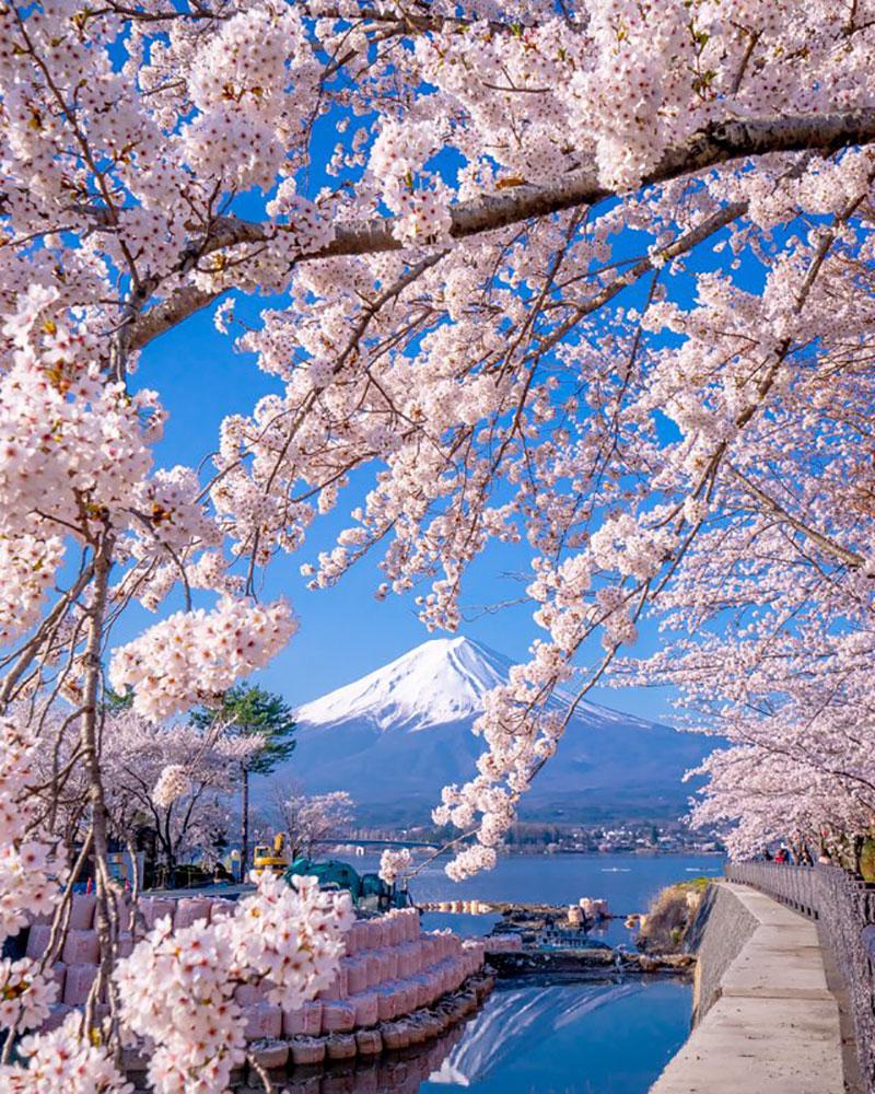 rose cerisiers fleurs bleu nemophiles printemps japon 9 - Cerisiers en Fleurs et Nemophiles pour un Printemps Eclatant