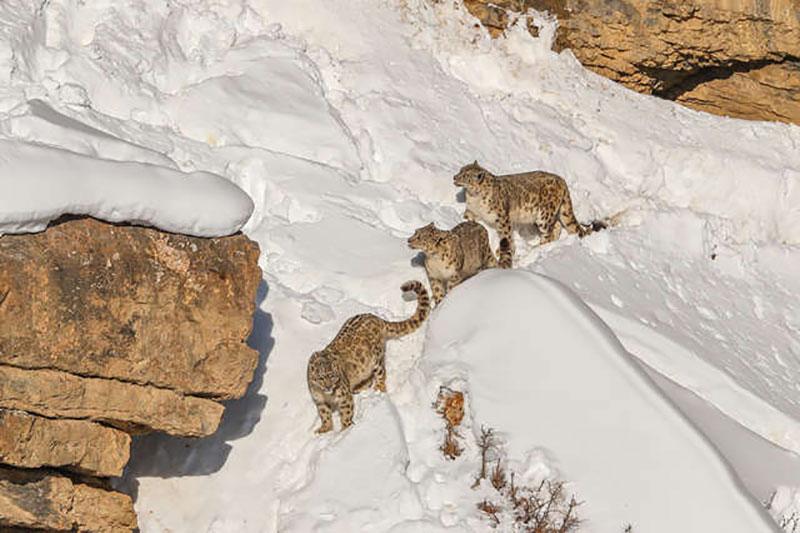 leopard neiges nature photo, Dans la Nature les Léopards des Neiges ont un Camouflage Parfait