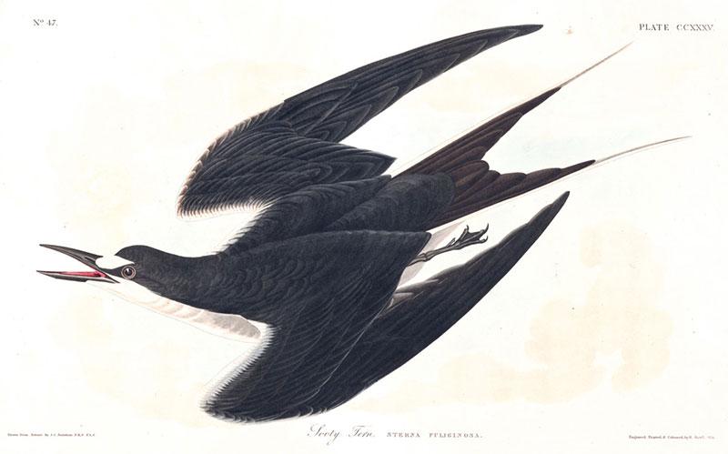 oiseaux Audubon gratuit, 435 Illustrations d'Oiseaux de John Audubon à Télécharger Gratuitement
