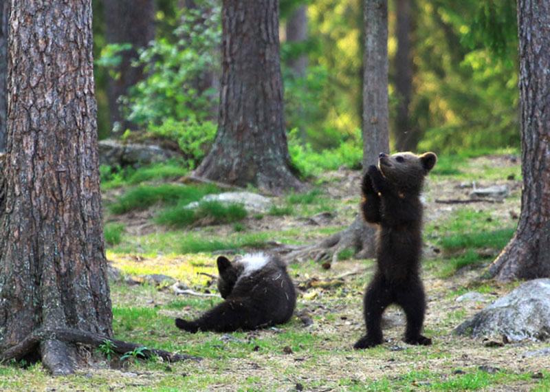 3 oursons forêt finlandaise, Dans la Forêt Finlandaise 3 Oursons Dansaient Comme des Fous