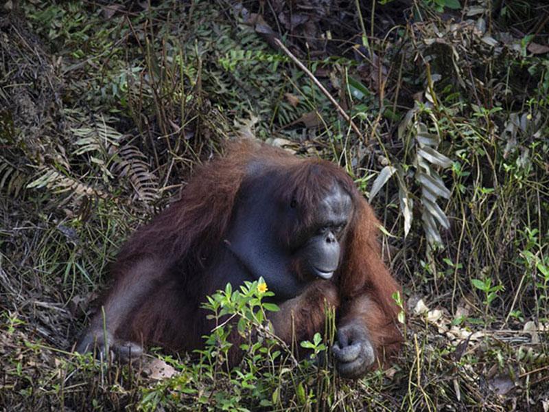 orang-outan, Cet Orang-Outan Tend la Main à un Homme Pour le Sauver (video)