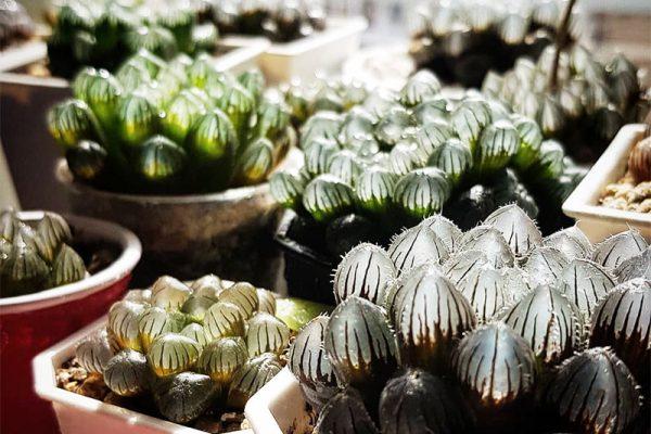 succulente translucide Haworthia cooperi, Haworthia Cooperi, la Succulente Translucide aux Airs de Bijoux