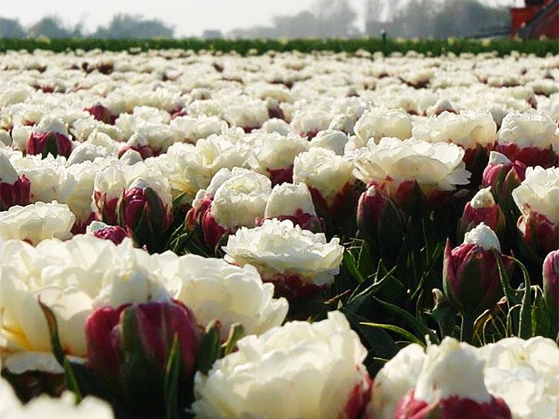 tulipes ice cream fleur glaces 01 - Tulipe Ice Cream, Fleur aux Airs de Glaces à la Chantilly - Photographie, Nature, Jardins, Inspiration, Fleurs, Amazon