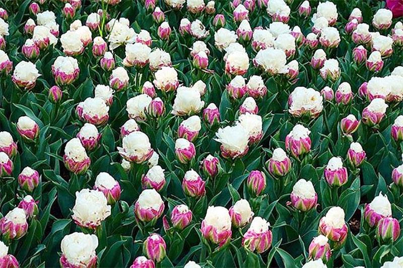 tulipes ice cream fleur glaces 02 - Tulipe Ice Cream, Fleur aux Airs de Glaces à la Chantilly - Photographie, Nature, Jardins, Inspiration, Fleurs, Amazon