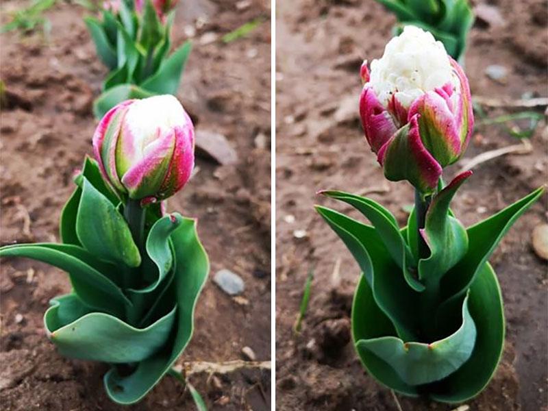 tulipes ice cream fleur glaces 05 - Tulipe Ice Cream, Fleur aux Airs de Glaces à la Chantilly - Photographie, Nature, Jardins, Inspiration, Fleurs, Amazon