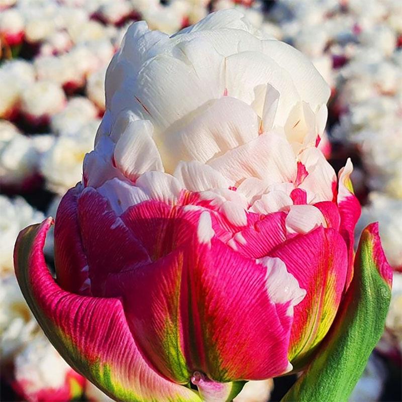 tulipes ice cream fleur glaces 07 - Tulipe Ice Cream, Fleur aux Airs de Glaces à la Chantilly - Photographie, Nature, Jardins, Inspiration, Fleurs, Amazon