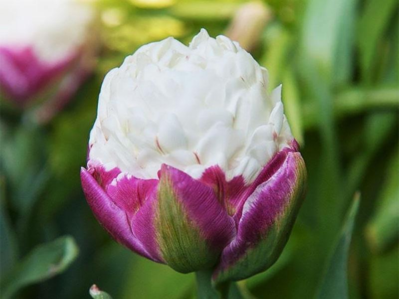 tulipes ice cream fleur glaces 09 - Tulipe Ice Cream, Fleur aux Airs de Glaces à la Chantilly - Photographie, Nature, Jardins, Inspiration, Fleurs, Amazon