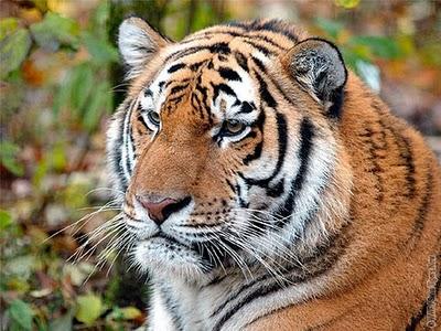, Leonardo DiCaprio pour le WWF Save Tigers Now